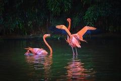 Dois flamingos das caraíbas em um lago Fotografia de Stock