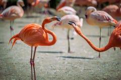 Dois flamingos das caraíbas na luta imagem de stock royalty free