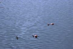 Dois flamingos que pescam no lago, África Fotografia de Stock