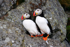 Dois fraterculas (papagaio-do-mar) Imagem de Stock