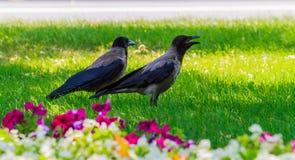 Dois gaios que sentam-se no gramado Fotografia de Stock