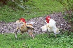 Dois galos brancos e vermelhos estão indo lutar as asas fluffed fotografia de stock