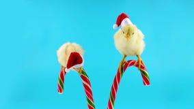 Dois galos pequenos adoráveis, assistentes doces de Santa Claus video estoque