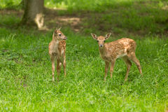 Dois gamos da jovem corça Fotografia de Stock Royalty Free