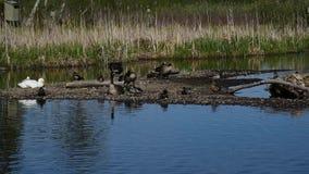 Dois ganso e seus gansos dos pais estão na ilha pequena vídeos de arquivo