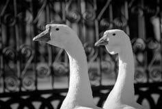 Dois gansos Fotografia de Stock Royalty Free