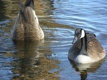 Dois gansos Foto de Stock