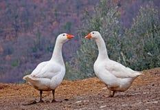 Dois gansos brancos Fotografia de Stock Royalty Free
