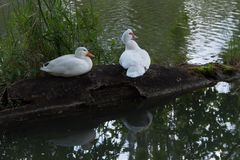 Dois gansos brancos que sentam no início de uma sessão a lagoa doméstica Ganso no fundo verde fotografia de stock royalty free