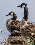 Dois gansos canadenses foto de stock royalty free