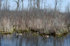 Dois gansos canadenses no habitat Fotos de Stock