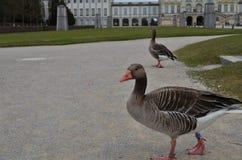 Dois gansos cinzentos em um trajeto em Munich em Alemanha Imagem de Stock