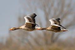 Dois gansos cinzentos que voam em seguido Imagens de Stock