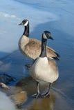 Dois gansos de Canadá fotos de stock royalty free