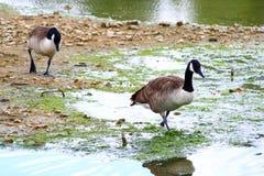 Dois gansos de Canadá em seu ambiente natural na terra fotografia de stock royalty free