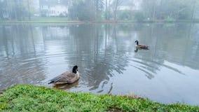 Dois gansos de Canadá em uma lagoa fotografia de stock royalty free