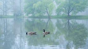 Dois gansos de Canadá em uma lagoa imagem de stock royalty free