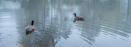 Dois gansos de Canadá em uma lagoa fotos de stock