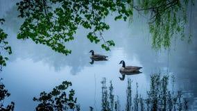 Dois gansos de Canadá em uma lagoa imagens de stock