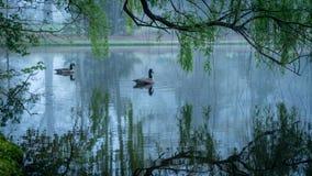 Dois gansos de Canadá em uma lagoa foto de stock royalty free
