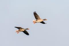 Dois gansos de pato bravo europeu no vôo Imagens de Stock Royalty Free