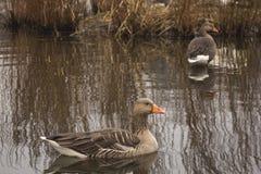 Dois gansos de pato bravo europeu selvagens em um rio escocês imagens de stock