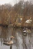 Dois gansos de pato bravo europeu selvagens em um rio escocês foto de stock royalty free