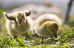 Dois gansos do bebê Fotografia de Stock