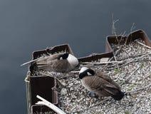 Dois gansos do sono Canadá fotos de stock