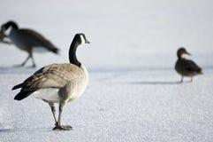 Dois gansos e um pato Foto de Stock Royalty Free