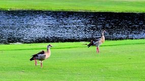 Dois gansos egípcios Foto de Stock Royalty Free