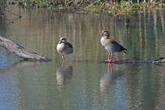Dois gansos egípcios Fotografia de Stock