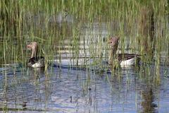 Dois gansos em uma lagoa foto de stock royalty free