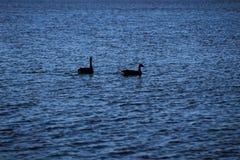 Dois gansos na água no crepúsculo imagens de stock royalty free