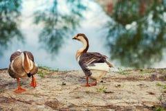 Dois gansos na costa do lago imagens de stock