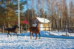 Dois garanhões árabes pretos e vermelhos novos correm o galope ao longo da terra de parada Está nevando, mas a mola veio imagens de stock