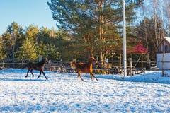 Dois garanhões árabes pretos e vermelhos novos correm o galope ao longo da terra de parada Está nevando, mas a mola veio imagens de stock royalty free