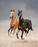 Dois garanhões do akhal-teke que correm no deserto Imagem de Stock