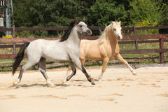Dois garanhões lindos que correm junto Fotografia de Stock