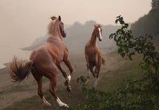 Dois garanhões vermelhos estão lutando em uma costa enevoada Fotografia de Stock Royalty Free