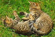 Dois gatinhos Imagem de Stock Royalty Free