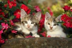 Dois gatinhos Imagem de Stock