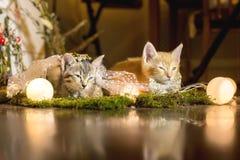 Dois gatinhos adormecidos idade 1 mês Fotos de Stock Royalty Free