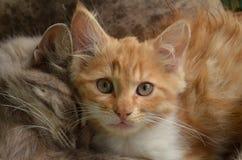 Dois gatinhos amigáveis Imagens de Stock Royalty Free