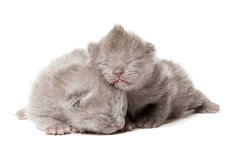 Dois gatinhos azuis britânicos do shothair Imagens de Stock Royalty Free