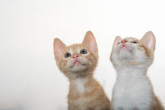 Dois gatinhos bonitos no branco Imagem de Stock Royalty Free