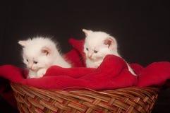 Dois gatinhos brancos em uma cesta Fotos de Stock Royalty Free