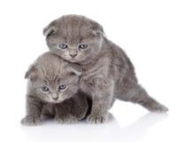 Dois gatinhos britânicos brincalhão do shorthair Isolado no branco Imagem de Stock