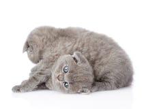 Dois gatinhos britânicos brincalhão do shorthair Isolado no branco Imagens de Stock