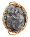Dois gatinhos britânicos em uma cesta Foto de Stock Royalty Free